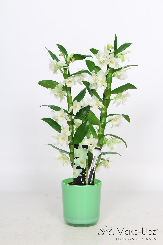 Dendrobium Nobile 12cm in Glass 2-tak Make-Upz® Green Highlights