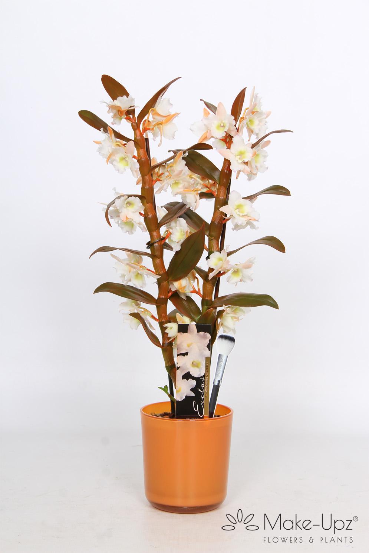Dendrobium Nobile 12cm in Glass 2-tak Make-Upz® Orange Highlights