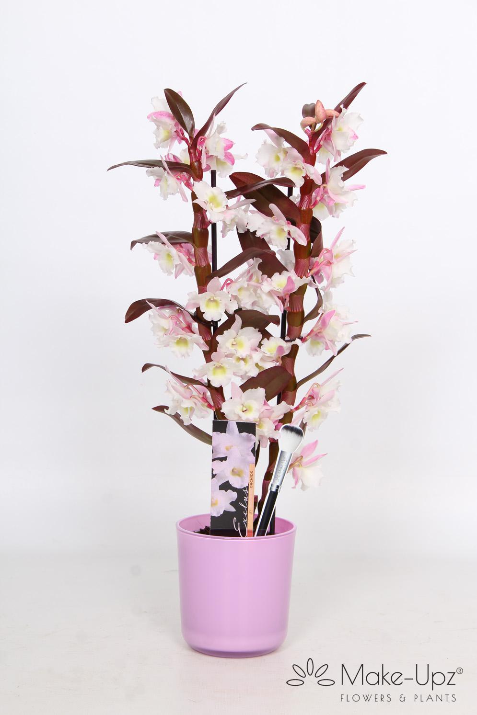 Dendrobium Nobile 12cm in Glass 2-tak Make-Upz® Pink Highlights