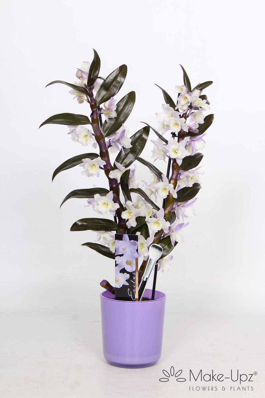 Dendrobium Nobile 12cm in Glass 2-tak Make-Upz® Purple Highlights