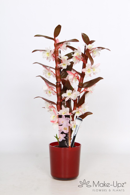 Dendrobium Nobile 12cm in Glass 2-tak Make-Upz® Red Highlights